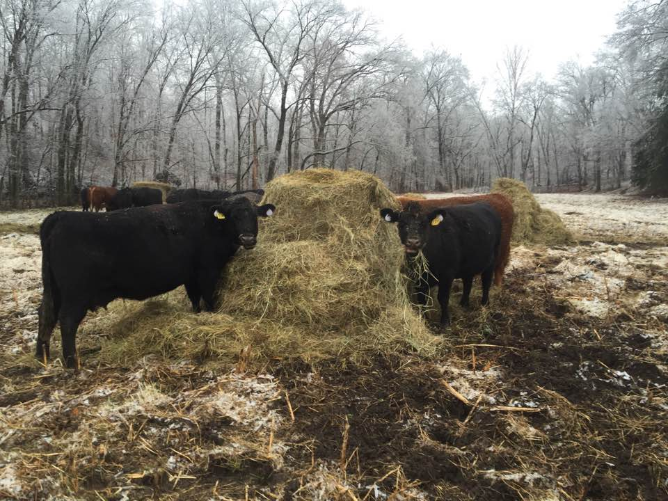 cows eating hay - washington county guide
