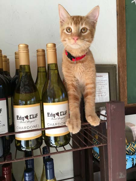 kitten with wine bottles - washington county guide